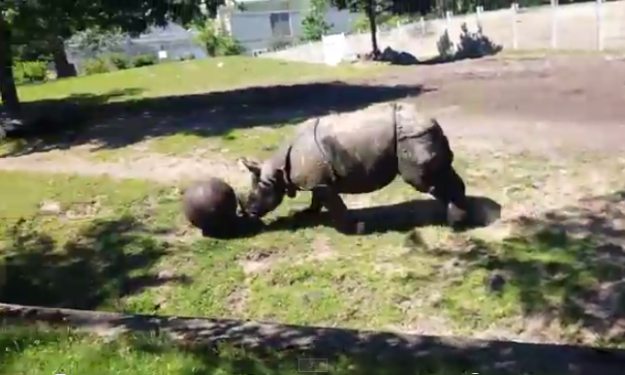 Buffalo Zoo rhino catches case of World Cup fever